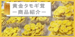黄金タモギ茸-商品紹介-