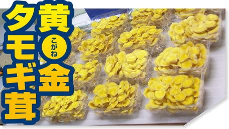 きのこは健康的なダイエット メニューにも人気です。 その中でも 黄金タモギ茸は肉厚で美味しくて香りもよく健康にも良いと言われております。