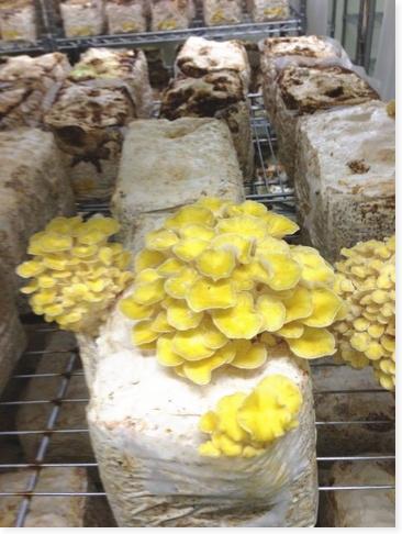 高級キノコ食材を仕入れるなら、無農薬・無添加栽培の純国産、黄金タモギ茸です。