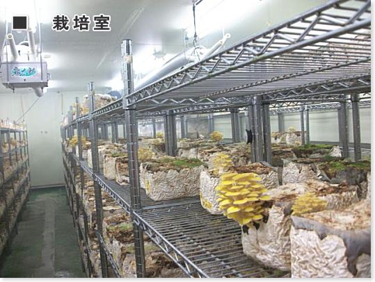 黄金を思わす美しいヤマブキ色の黄金タモギ茸の栽培室です。