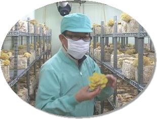 黄金タモギ茸の収穫風景
